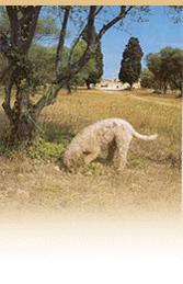 Le cavage en France.